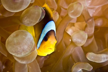 Red sea anemonefish (Amphipiron bicinctus) and bubble anemone Stock Photo - 4274490