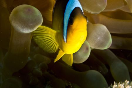 bubble sea anemone: Red sea anemonefish (Amphipiron bicinctus) and bubble anemone