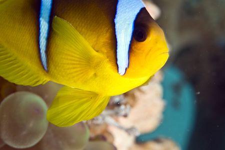 Red sea anemonefish (Amphipiron bicinctus) and bubble anemone Stock Photo - 4274429