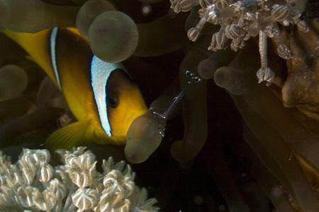 coralgrouper: bubble anemone with cave cleaner shrimp (urocaridella sp.) Stock Photo