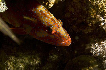 coralgrouper: sixspot grouper (cephalopholis sexmaculata) Stock Photo