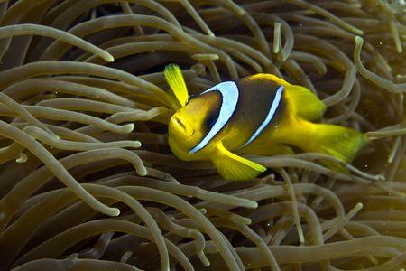 Red sea anemone fish (Amphipiron bicinctus) photo