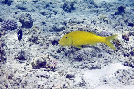 coralgrouper: yellowsaddle goatfish (parupeneus cyclostomus)