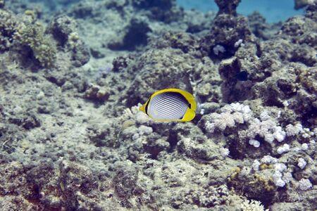 butterflyfish: blackbacked butterflyfish (chaetodon melannotus)