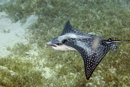 Spotted Eagle Ray (Aetobatus narinari) photo