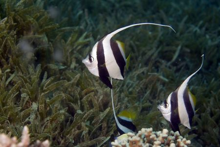 schooling bannerfish (heniochus diphreutes) photo