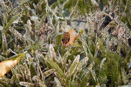 epinephelus: Blacktip grouper juv. (Epinephelus fasciatus)