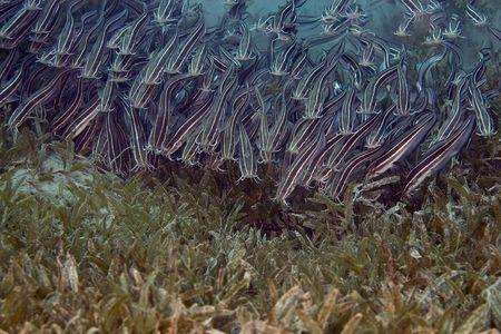 blenny: Striped eel catfish (Plotosus lineatus)
