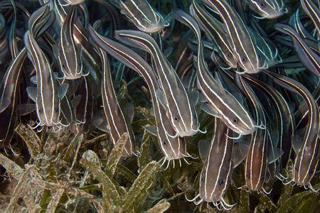 coralgrouper: Striped eel catfish (Plotosus lineatus)