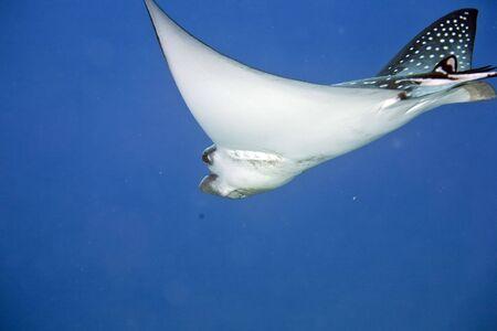 coralgrouper: Spotted Eagle Ray (Aetobatus narinari)