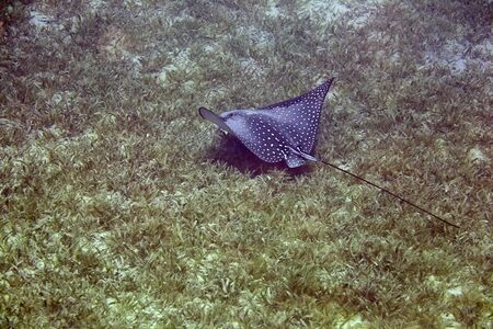 narinari: Spotted Eagle Ray (Aetobatus narinari)