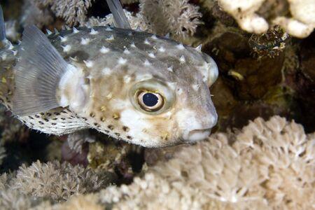 coralgrouper: yellowspotted burrfish (cyclichthys spilostylus) Stock Photo