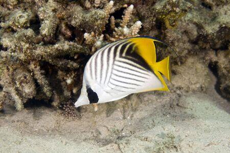 butterflyfish: threadfin butterflyfish (chaetodon auriga) Stock Photo