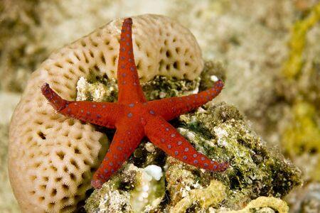 coralgrouper: ghardaqa sea star (fromia ghardaqana)