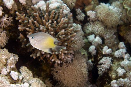 damselfish: yellow-side damselfish (amblyglyphidodon flavilatus) Stock Photo
