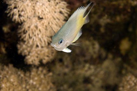 coralgrouper: yellow-side damselfish (amblyglyphidodon flavilatus) Stock Photo