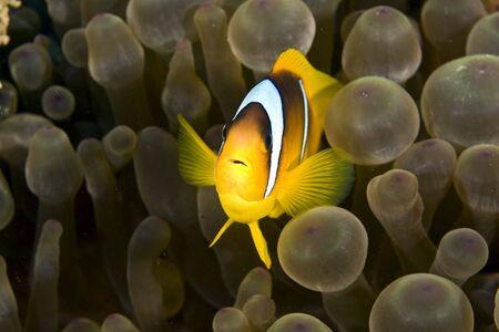 coralgrouper: anemonefish (Amphipiron bicinctus) and bubble anemone Stock Photo
