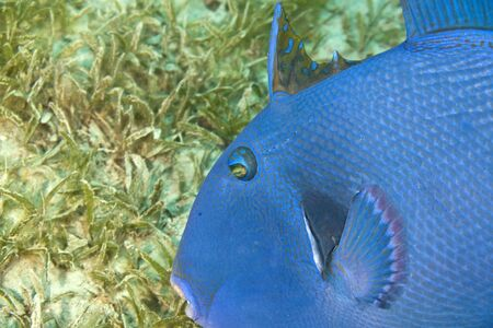 blue triggerfish (pseudobalistes fuscus) Stock Photo - 4270477