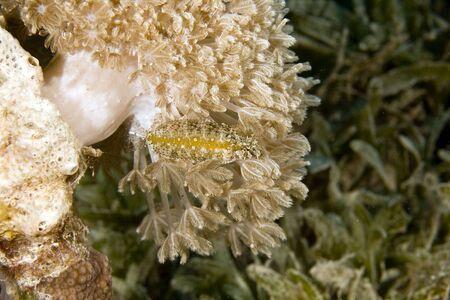 coralgrouper: umbrella xenia (xenia umbellata) and a highfin fang blenny (petroscirtes mitratus)