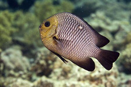 coralgrouper: three-spot dascyllus (dascyllus trimaculatus)