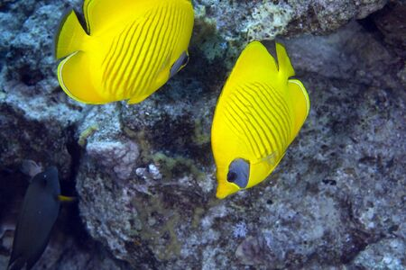 coralgrouper: Masked Butterfly Fish (Chaetodon semilarvatus) Stock Photo
