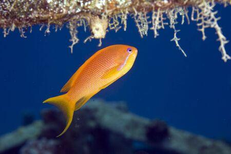 coralgrouper: oman anthias (pseudanthias marcia)