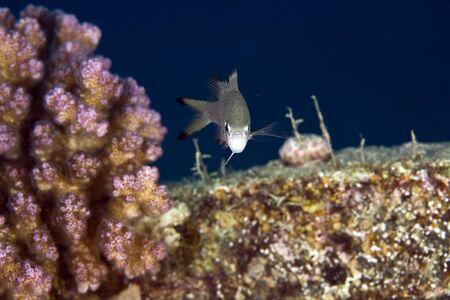 coralgrouper: mirys demoiselle (neopomacentrus miryae)