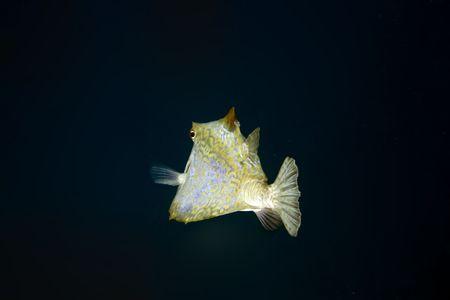 thornback boxfish (tetrasomus gibbosus) Stock Photo - 4261238