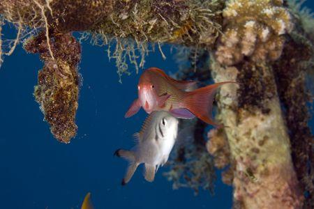 coralgrouper: lyretail anthias (pseudanthias squamipinnis) on a wreck