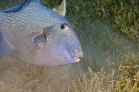 triggerfish: blue triggerfish (pseudobalistes fuscus)