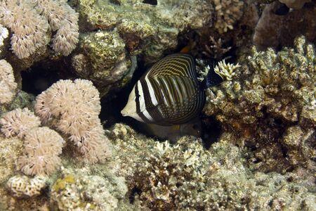 sailfin: sailfin tang (zebrasoma desjardinii)