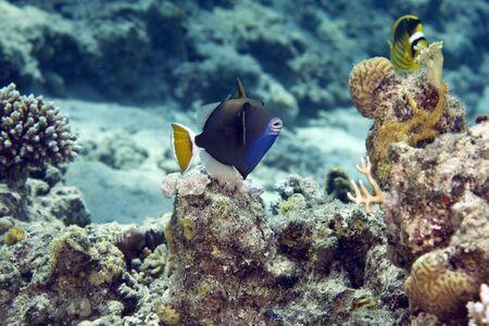 bluethroat triggerfish (sufflamen albicaudatus) Stock Photo - 4265559