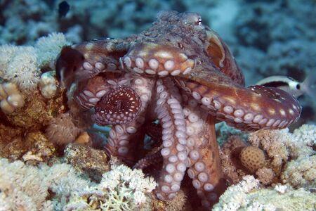 coralgrouper: reef octopus (octopus cyaneus)