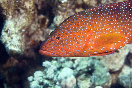 coralgrouper: coral hind (cephalopholis miniata) Stock Photo