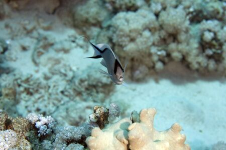 fem: zebra angelfish fem. (genicanthus caudovittattus)