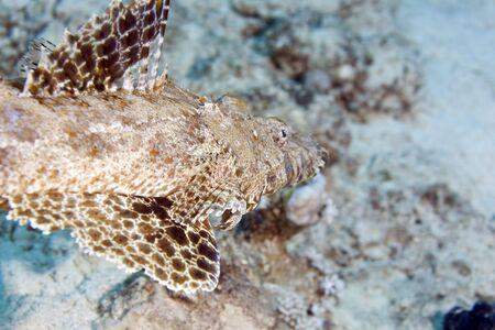 indean ocean crocodilefish (papilloculiceps longiceps) photo