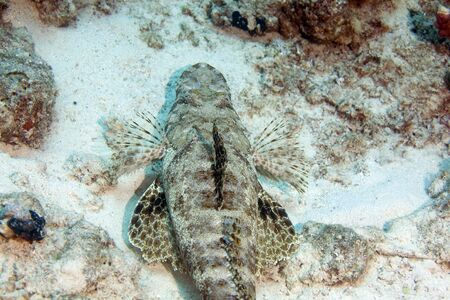 coralgrouper: indean ocean crocodilefish (papilloculiceps longiceps)