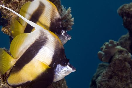 bannerfish (heniochus intermedius) Stock Photo - 4262393