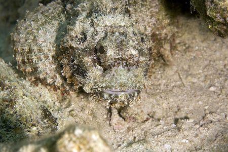 coralgrouper: bearded scorpionfish (scorpaenopsis barbatus)
