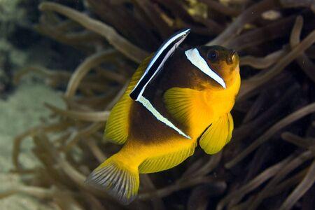 mimic: anemonefish (Amphipiron bicinctus) getting cleaned by a cleaner mimic (aspidontus taeniatus)