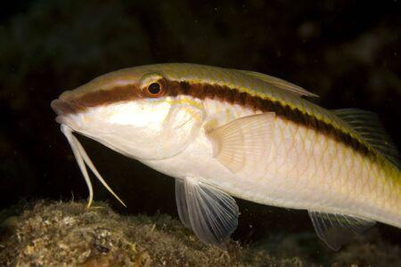coralgrouper: goatfish (parpeneus forsskali)