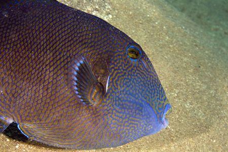 blue triggerfish (pseudobalistes fuscus) photo