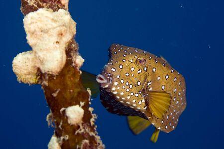 fem: bluetail trunkfish fem. (oastracion cyanurus)