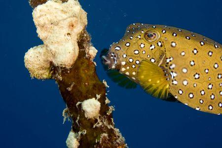 coralgrouper: bluetail trunkfish fem. (oastracion cyanurus)