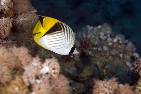 chaetodon: threadfin butterflyfish (chaetodon auriga) Stock Photo