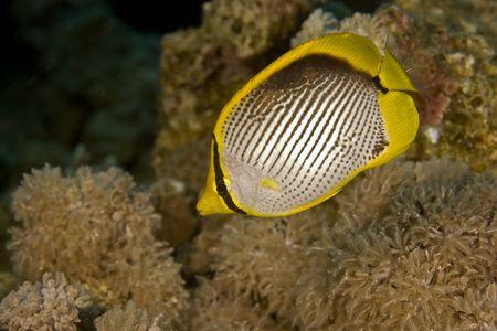chaetodon: blackbacked butterflyfish (chaetodon melannotus)
