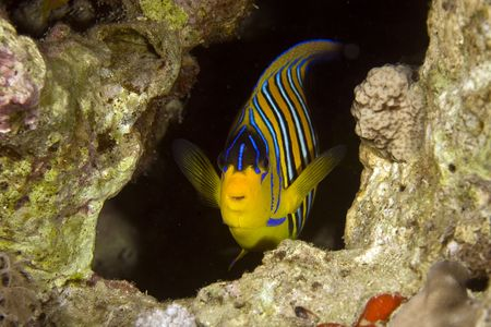 pygoplites diacanthus: regal angelfish (pygoplites diacanthus)