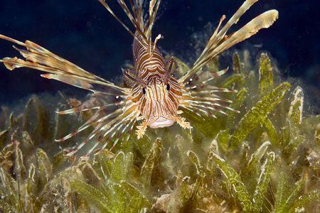 coralgrouper: lionfish (pterois miles)