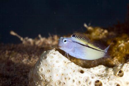 coralgrouper: red sea mimic blenny (escenius gravieri) Stock Photo