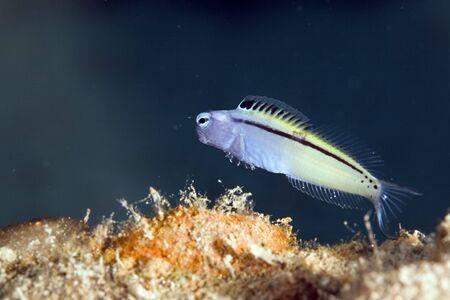 mimic: red sea mimic blenny (escenius gravieri) Stock Photo